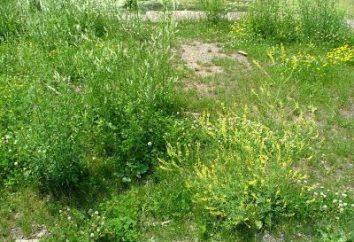 Sweet koniczyna (trawa): Właściwości terapeutyczne, aplikacje, wskazania