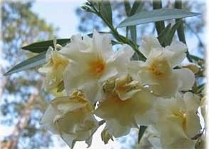 Come far crescere una delicata fiori oleandri?