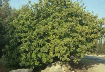 Jakie są właściwości carob? Przydatne właściwości owocu rośliny