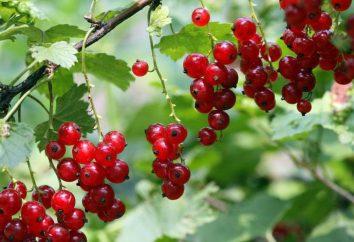 """Ribes """"Natalie"""": descrizione della varietà, foto, recensioni"""
