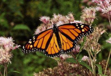 Monarch Butterfly: cechy rozwoju i ochrony środowiska