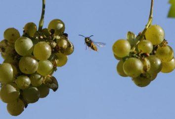 Ein paar Tipps, wie die Trauben von Wespen zu schützen