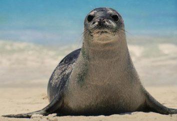 Seal – jest to zwierzę?