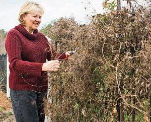 Ciò che è richiesto nella cura clematis autunno: Consigli fiorista