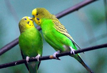 Wylinka w papużek falistych. Choroba lub naturalnym procesem?