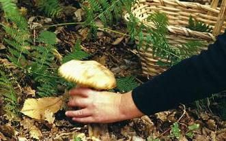 Wann und wo Pilze in den Vororten zu sammeln?