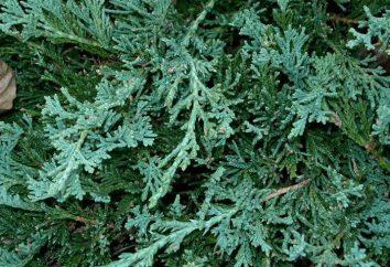 Juniper Wilton orizzontale: descrizione, caratteristiche, la semina e la cura