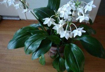 Amazon lily – euharis. Opieki w domu