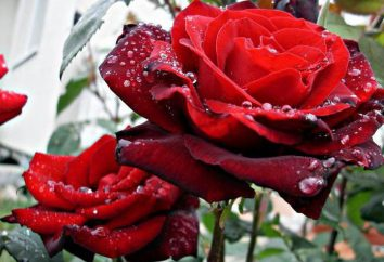 Rose Barcarolle: descrição e características da cultura
