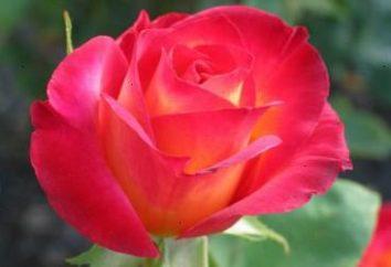 Rose – in crescita dai tagli, il suolo