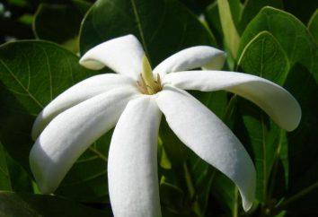 Tahitian gardenia: zdjęcia, opis, opieki