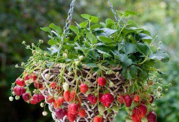Verticales la culture des fraises à la maison