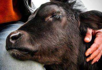 Co cielę marzy o: tajemnicach świętych zwierząt