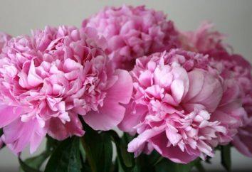 Dites-nous quand vous pouvez replanter pivoines et comment prendre soin de ces belles plantes à fleurs