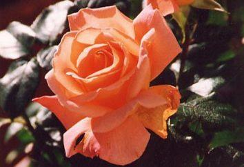 Comment reproduire la rose? Plusieurs façons populaires