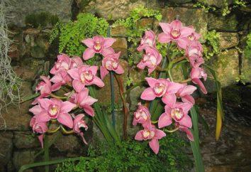 Où pousser des orchidées? Orchidées dans la nature