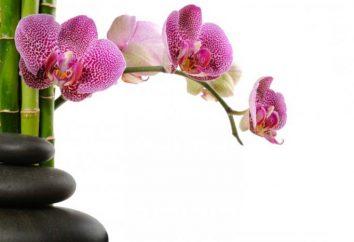 Come acqua orchidee durante la fioritura giusto? Orchidea: cura durante la fioritura