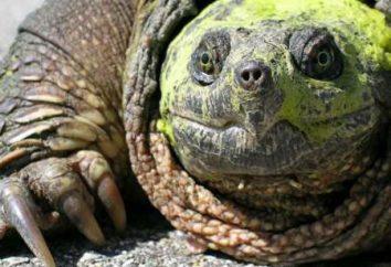tortue serpentine commune. Table des matières Les tortues serpentines dans un aquarium à la maison