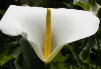 Qual é a inflorescência e qual o seu significado biológico?