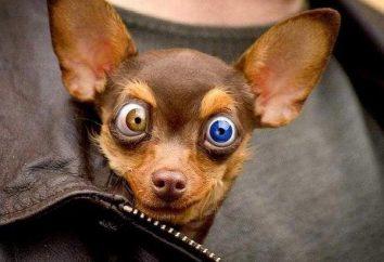 Oczy psa łzawią. Dbanie o psich oczu
