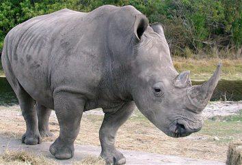 White Rhino: descrizione. Northern rinoceronte bianco sull'orlo dell'estinzione