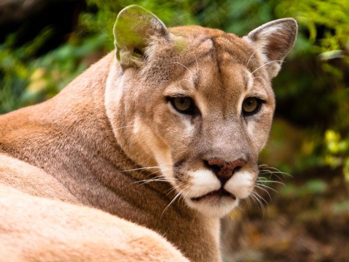 Puma Tier