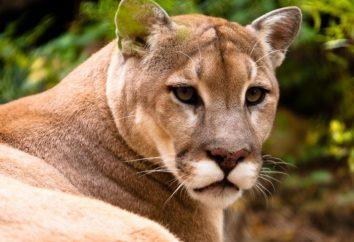 Graceful cougar – un animale che sa stare in piedi per se stesso