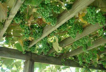 Jaka powinna być arch dla winogron?