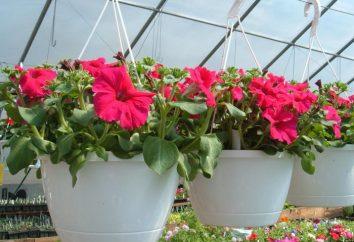 Petunia – pielęgnacja i uprawa. Sadzenie petunie w tabletce torfu. Tajemnice rosnących petunie