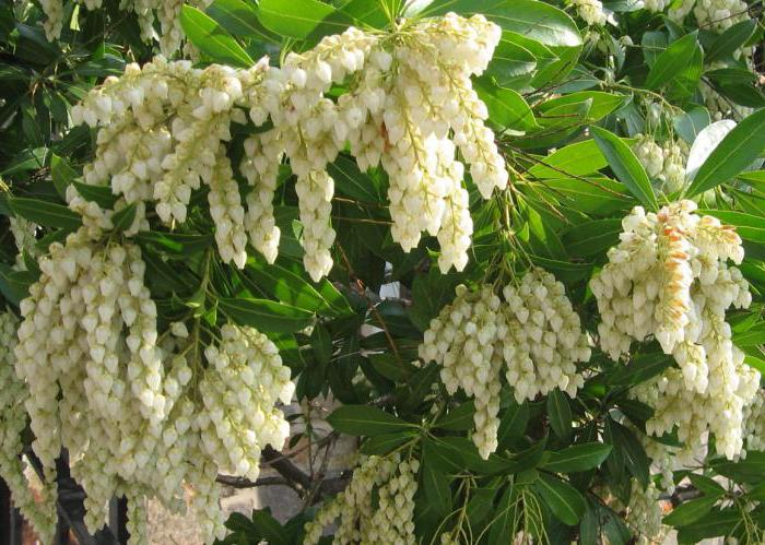 Pieris japonica description la plantation et les soins for Plantes ornement exterieur