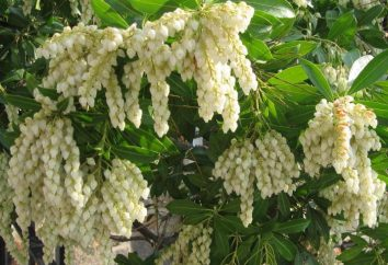 Pieris japonica: description, la plantation et les soins. arbustes d'ornement pour le jardin