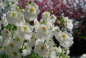 flor Diascia: crescente de sementes, propagação por estacas, cuidado, flor