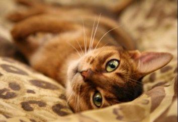 Najpiękniejsza i inteligentna rasa kotów Abyssinian