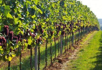 Est-ce que quelqu'un sait comment planter les raisins dans les banlieues?