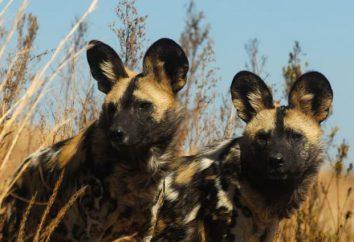 Hyänenhund: Beschreibung, Lifestyle, Bevölkerung