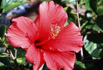 Chiny Rose – kwiat śmierci lub symbolem kobiecego piękna?