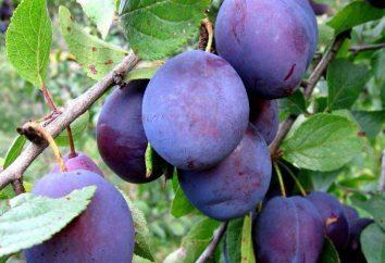 Plum « bleu oeuf »: description de la variété, photo, avis