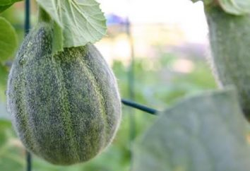 Melony: jak rosną w ich domku letniskowym
