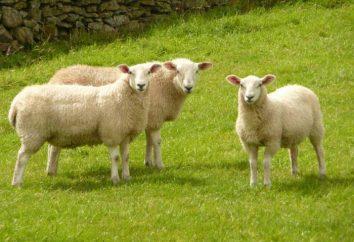 Formaggio di capra: i benefici per la salute, i panorami più famosi
