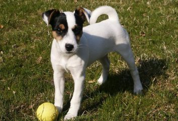 Chien de race Parson Russell Terrier: Description et commentaires