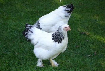 Rasy lekkich kurczaków: opis, charakterystyka, opinie