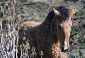 Los caballos de la raza Bashkir: descripción y fotos