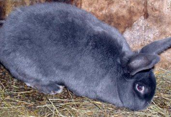 Description de la race: lapin bleu viennoise