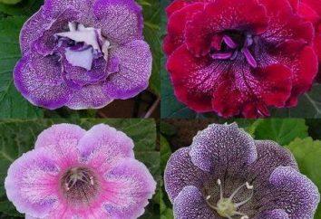 Fleur Gloxinia – Description de la plante