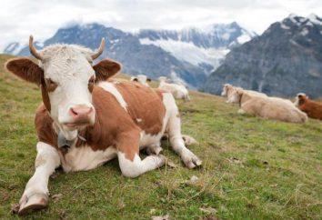 Żywotność krowy: czynniki i metody określania wieku