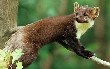 W chińskiej civet? Civet je w środowisku naturalnym?