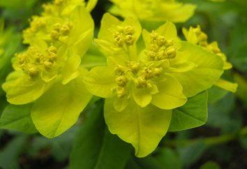 Euphorbia colore – una composizione giardino accento luminoso