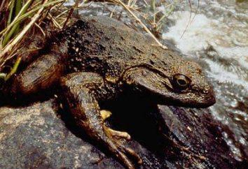Goliath frog – cichy gigant na skraju wyginięcia