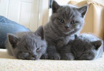 raza de gato real. Británico – gato lindo de la felpa