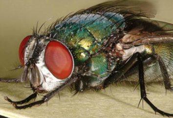 mosca verde: descrição, fotos. Como se livrar das moscas verdes?